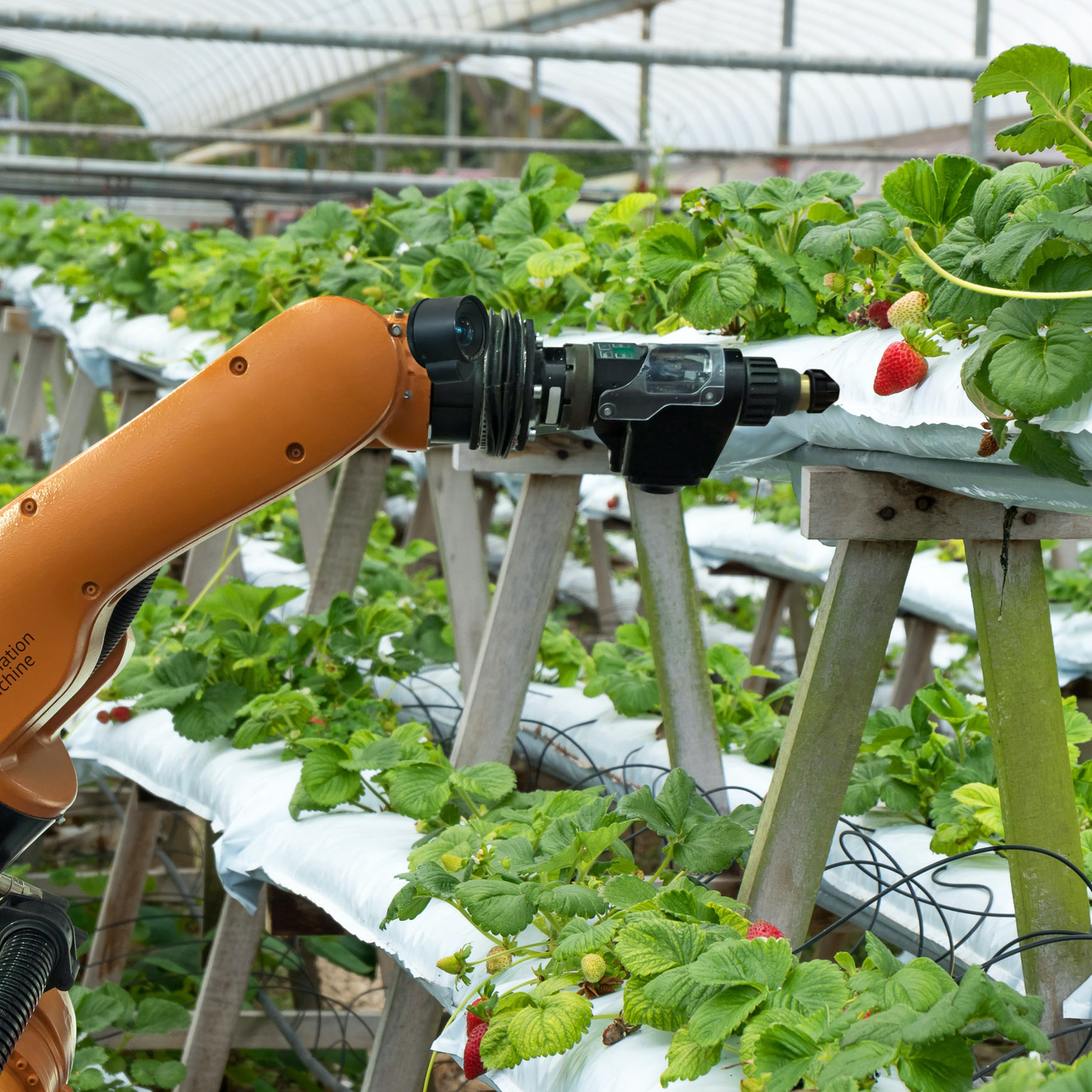 farming technology picks a strawberry in a greenhouse